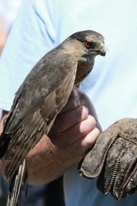 03_orange-county-raptors-2015-sharp-shinned-hawk