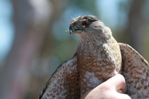 05_orange-county-raptors-2015-sharp-shinned-hawk