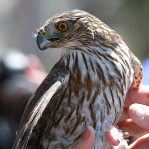 07_orange-county-raptors-2015-sharp-shinned-hawk