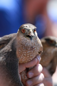 08_orange-county-raptors-2015-sharp-shinned-hawk