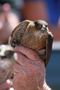 09_orange-county-raptors-2015-sharp-shinned-hawk