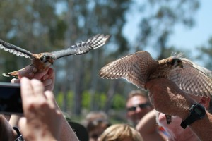 13_orange-county-raptors-2015-kestral