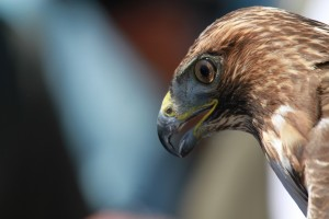 15_orange-county-raptors-2015-red-tail-hawk
