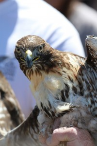 16_orange-county-raptors-2015-sharp-shinned-hawk