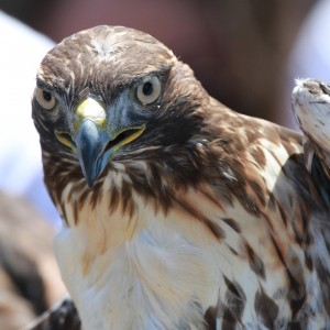 17_orange-county-raptors-2015-sharp-shinned-hawk