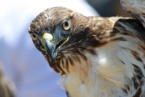 18_orange-county-raptors-2015-sharp-shinned-hawk