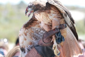 19_orange-county-raptors-2015-red-tail-hawk