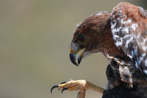 22_orange-county-raptors-2015-red-tail-hawk