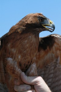 25_orange-county-raptors-2015-red-tail-hawk