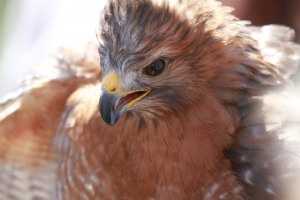 35_orange-county-raptors-2015-red-shouldered-hawk