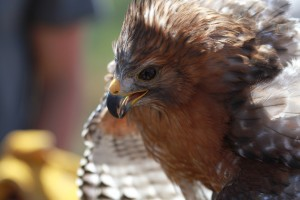 36_orange-county-raptors-2015-red-shouldered-hawk