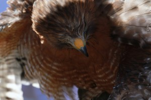 37_orange-county-raptors-2015-red-shouldered-hawk