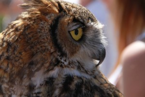 39_orange-county-raptors-2015-male-great-horned-owl