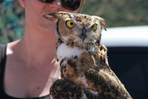 41_orange-county-raptors-2015-female-great-horned-owl