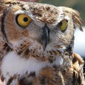 42_orange-county-raptors-2015-female-great-horned-owl