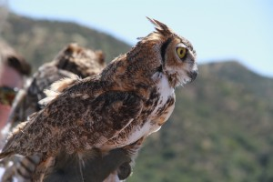 43_orange-county-raptors-2015-female-great-horned-owl