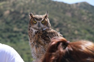 44_orange-county-raptors-2015-male-great-horned-owl
