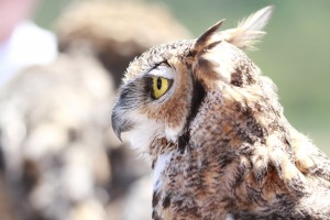 45_orange-county-raptors-2015-female-great-horned-owl