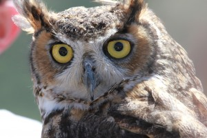 47_orange-county-raptors-2015-male-great-horned-owl