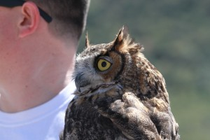 49_orange-county-raptors-2015-male-great-horned-owl