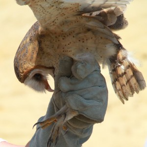 51_orange-county-raptors-2015-barn-owl