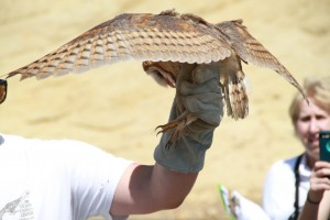 52_orange-county-raptors-2015-barn-owl