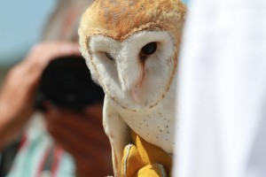 65_orange-county-raptors-2015-barn-owl