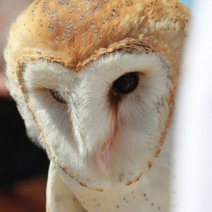 66_orange-county-raptors-2015-barn-owl