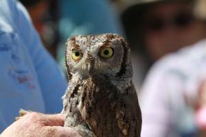 68_orange-county-raptors-2015-screech-owl