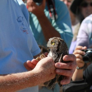 69_orange-county-raptors-2015-screech-owl