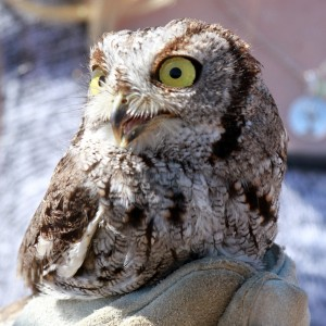71_orange-county-raptors-2015-screech-owl