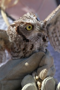 72_orange-county-raptors-2015-screech-owl
